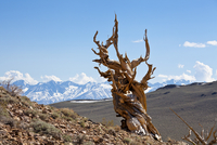 A twisted very old Bristlecone Pine (Pinus longaeva), on sage brush covered slopes of dolomite limestone, in the Ancient Bristle 20025365383| 写真素材・ストックフォト・画像・イラスト素材|アマナイメージズ