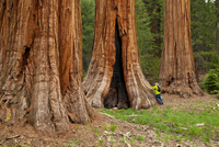 Tourist admiring the Giant Sequoia trees (Sequoiadendron giganteum), on the Big Trees trail, Round Meadow, Sequoia National Park