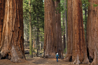 Tourist hiker, admiring the Giant Sequoia trees (Sequoiadendron giganteum), known as the Parker Group, Sequoia National Park, Si