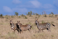 Grant's zebra (Equus quagga boehmi), Lualenyi Game Reserve, Kenya, East Africa, Africa 20025365600| 写真素材・ストックフォト・画像・イラスト素材|アマナイメージズ