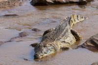 Nile crocodile (Crocodylus niloticus), Tsavo East National Park, Kenya, East Africa, Africa