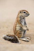 Baby ground squirrel (Xerus inauris), Kgalagadi Transfrontier Park, South Africa, Africa