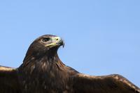 Captive golden eagle (Aquila chrysaetos), close up, United Kingdom, Europe 20025365641  写真素材・ストックフォト・画像・イラスト素材 アマナイメージズ