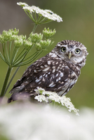 Captive little owl (Athene noctua), United Kingdom, Europe 20025365642  写真素材・ストックフォト・画像・イラスト素材 アマナイメージズ