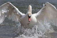 Mute swan (Cygnus color), taking off, Abbotsbury Swannery, Dorset, England, United Kingdom, Europe 20025365648| 写真素材・ストックフォト・画像・イラスト素材|アマナイメージズ