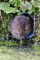 Water vole (Arvicola terrestris) in captivity, United Kingdom, Europe