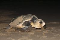 Loggerhead turtle (Caretta caretta), moving from nest to sea at night, Banga Nek, Kwazulu Natal, South Africa, Africa