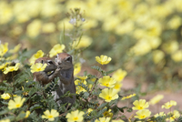 Ground squirrels (Xerus inauris), in devil's thorn flowers, Kgalagadi Transfrontier Park, Northern Cape, South Africa, Africa