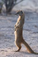 Yellow mongoose (Cynictis penicillata) Kgalagadi Transfrontier Park, South Africa, Africa