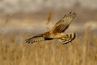 Female northern harrier (Circus cyaneus) in flight while hunting, Farmington Bay, Utah, United States of America, North America 20025365800| 写真素材・ストックフォト・画像・イラスト素材|アマナイメージズ