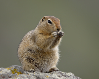 Arctic ground squirrel (Parka squirrel) (Citellus parryi), Hatcher Pass Alaska, United States of America, North America