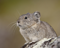 Collared pika (Ochotona collaris), Hatcher Pass, Alaska, United States of America, North America