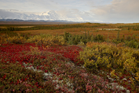 Mount McKinley with tundra in fall color, Denali National Park and Preserve, Alaska, United States of America, North America