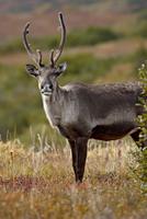 Porcupine caribou (Grant's caribou) (Rangifer tarandus granti) cow among fall colors, Denali National Park and Preserve, Alaska,
