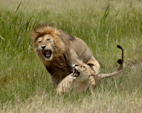 Lions (Panthera leo) mating, Serengeti National Park, Tanzania, East Africa, Africa
