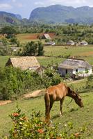 Horse grazing on a hillside in the Valle de Vinales, Pinar del Rio Province, Cuba, West Indies, Central America 20025366029| 写真素材・ストックフォト・画像・イラスト素材|アマナイメージズ