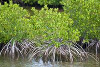 Mangrove forest in Buena Vista UNESCO Biosphere Reserve, Buena Vista Bay, Cayo Santa Maria, Cuba, West Indies, Caribbean, Centra
