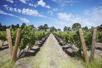 Vineyards of Cullen wine estate, Margaret River, Western Australia, Australia, Pacific 20025366386| 写真素材・ストックフォト・画像・イラスト素材|アマナイメージズ