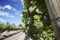 Vineyards of Cullen wine estate, Margaret River, Western Australia, Australia, Pacific 20025366387| 写真素材・ストックフォト・画像・イラスト素材|アマナイメージズ
