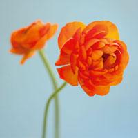 花(キンポウゲ)