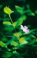 花(ツルニチニチソウ) 20026000064| 写真素材・ストックフォト・画像・イラスト素材|アマナイメージズ