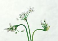 花(アリウム・ユニフォリウム)