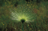 花(オクトネホシクサ)