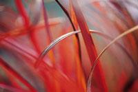 ススキ 20026000279| 写真素材・ストックフォト・画像・イラスト素材|アマナイメージズ