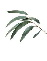 植物(ユーカリ・グニー)
