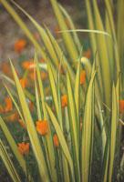 植物(ニュージーランドアサ)