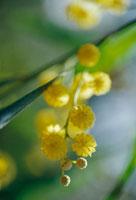 四季咲きアカシア