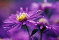 花(アスター) 20026000378| 写真素材・ストックフォト・画像・イラスト素材|アマナイメージズ