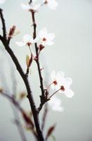 桜桃 20026000385| 写真素材・ストックフォト・画像・イラスト素材|アマナイメージズ