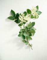 花(西洋ニワトコ)