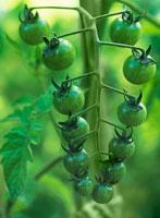 トマト 20026000438| 写真素材・ストックフォト・画像・イラスト素材|アマナイメージズ