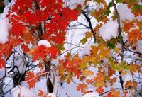カエデ 20026000461  写真素材・ストックフォト・画像・イラスト素材 アマナイメージズ