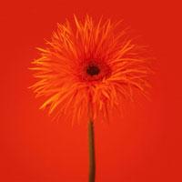 ガーベラ 20026000492  写真素材・ストックフォト・画像・イラスト素材 アマナイメージズ