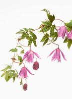 花(クレマチス) 20026000504| 写真素材・ストックフォト・画像・イラスト素材|アマナイメージズ