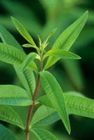 植物(レモンバーベナ)