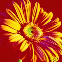 ガーベラ 20026000571  写真素材・ストックフォト・画像・イラスト素材 アマナイメージズ