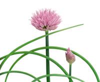 花(チャイブ) 20026000608| 写真素材・ストックフォト・画像・イラスト素材|アマナイメージズ