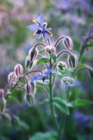 花(ルリヂサ)