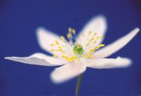花(ヤブイチゲ)