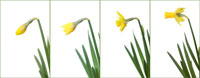 ラッパ水仙 20026000730| 写真素材・ストックフォト・画像・イラスト素材|アマナイメージズ