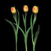 チューリップ 20026000798| 写真素材・ストックフォト・画像・イラスト素材|アマナイメージズ