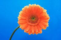 ガーベラ(オレンジ色)