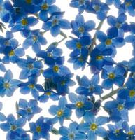 忘れな草 20026000898| 写真素材・ストックフォト・画像・イラスト素材|アマナイメージズ
