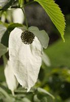花(ハンカチの木)