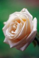 バラ 20026001050| 写真素材・ストックフォト・画像・イラスト素材|アマナイメージズ