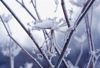 植物(ウイキョウ) 20026001138| 写真素材・ストックフォト・画像・イラスト素材|アマナイメージズ